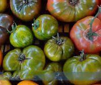 Déclinaison de tomates anciennes marinées et confites, leurs  eaux,  gel Burrata  et sa touche de basilic
